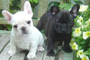 100% Pure and Healthy Black and whiite French Bulldog