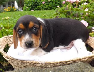beagle puppy for sale perth