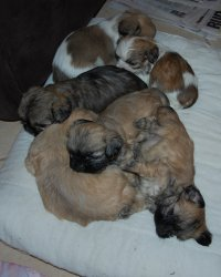 Shih-tzu x maltese puppies for sale - Sydney - free