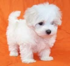 DANTI-1 Maltese puppies for sale - Swan Hill - free